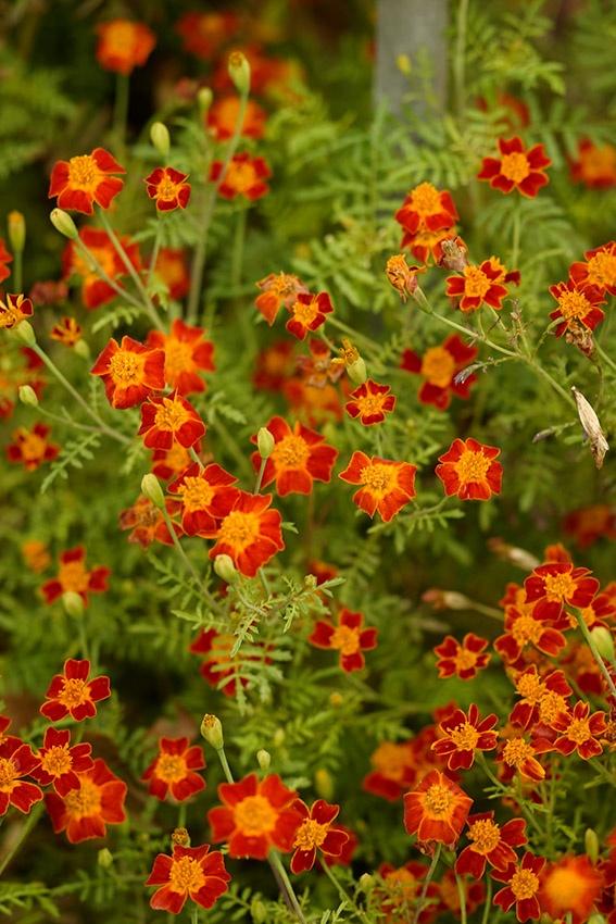 Tagetes, Studentenblumen pflanzen, pflegen