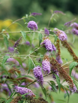Sommerflieder pflanzen und richtig pflegen