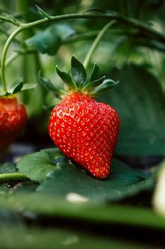 Erdbeeren schneiden – wann und wie?