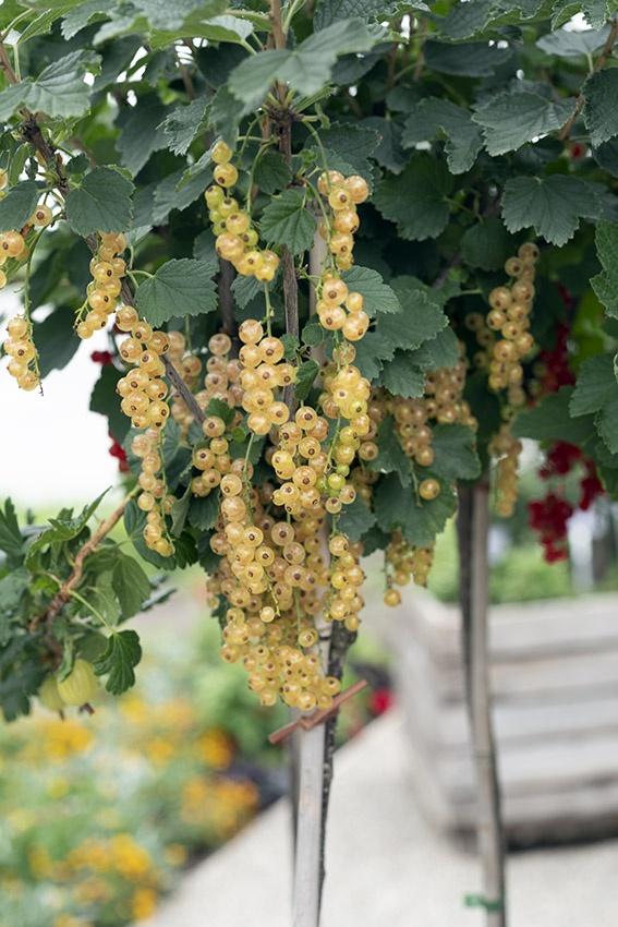 Die besten Pflanzen für den Naschbalkon: Obst auf Balkon anbauen