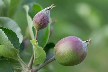Apfelbaum, Birnbaum, Pfirsichbaum und andere Obstgehölze ausputzen