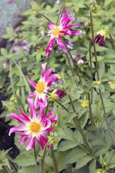 Dahlien im Frühling vermehren