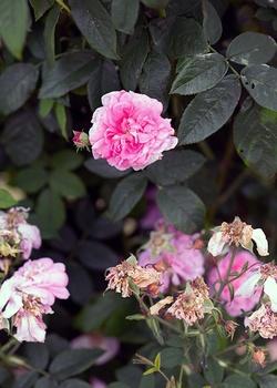 Verblühte Rosen schneiden