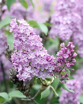 10 duftende Gartenpflanzen für den Frühling