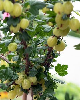 Stachelbeeren pflanzen und pflegen