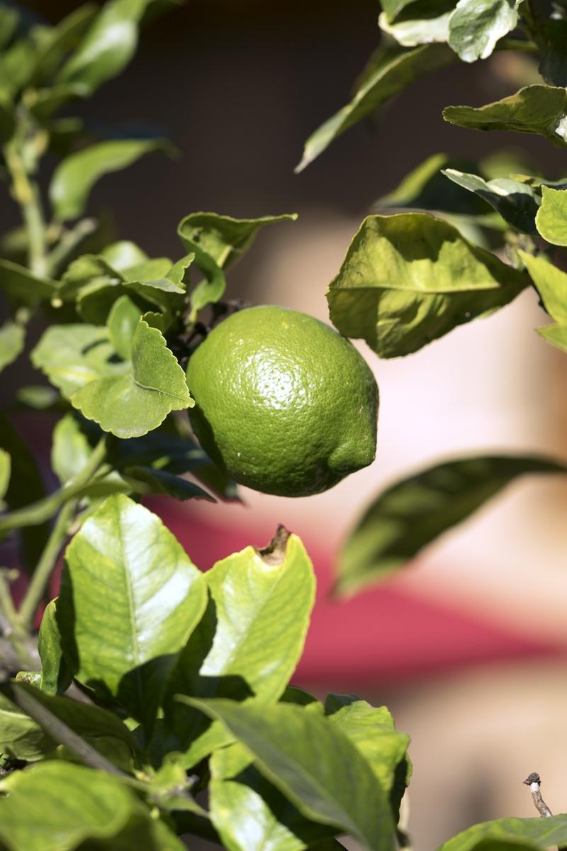 Berühmt Zitronenbaum pflegen #MT_87