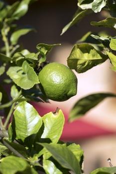 Zitronenbaum richtig  pflegen, gießen, schneiden und überwintern
