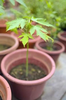 Papaya aus Kernen  selber ziehen und pflanzen