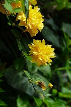 Ranunkelstrauch pflanzen und pflegen