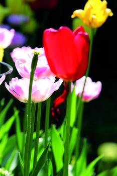 Blumenzwiebeln für Beet oder Pflanzkübel richtig auswählen