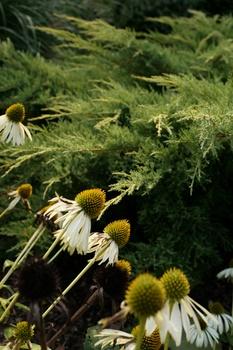 Sonnenhut (Echinacea) vermehren