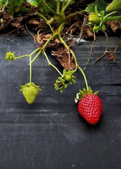 Erdbeerpflanzen überwintern – so gelingt es!