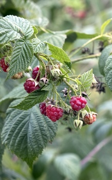 Naschgarten mit Beerensträuchern
