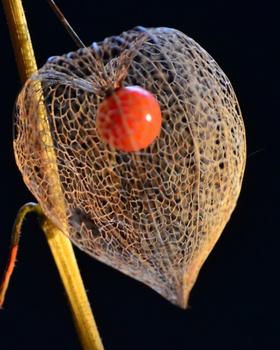 Die Schönheit vertrockneter Samenstände
