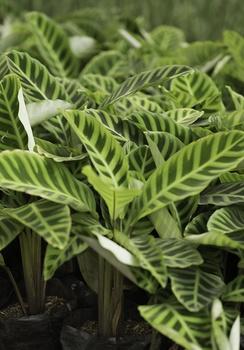 Zimmerpflanzen mit fantastischen Blättern