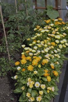 Die schönsten Blumen im Gemüsebeet
