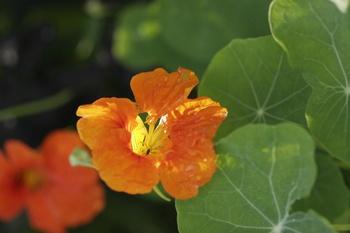 12 essbare Blumen für Mischkultur im Gemüsegarten