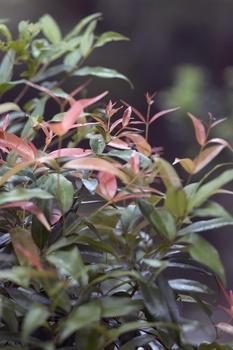 Glanzmispel pflanzen und pflegen
