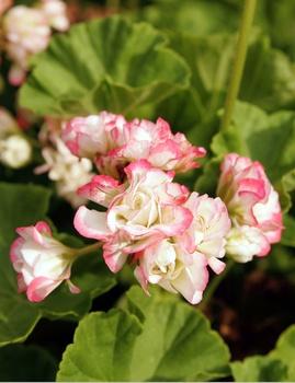 Balkonblumen pflanzen und pflegen