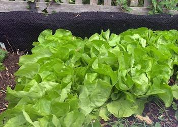 Salat schießt – was kann man dagegen tun?