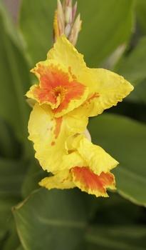Indisches Blumenrohr vorziehen