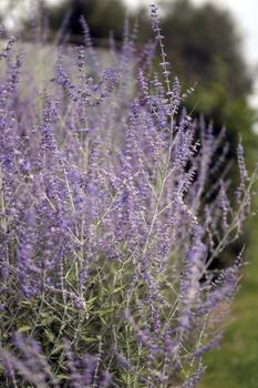 Die schönsten Sträucher mit lila Blüten