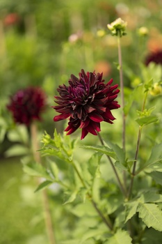 Pinzieren – buschige Pflanzen, üppige Blüte, längere Blühdauer