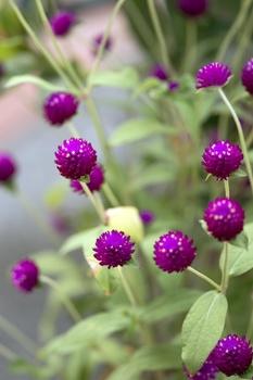 Kugelamarant pflanzen und pflegen