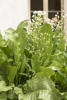 Mehrjährige Gemüse - einmal pflanzen, immer ernten