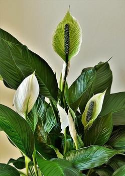 Einblatt Pflege: So gedeiht die Zimmerpflanze prächtig