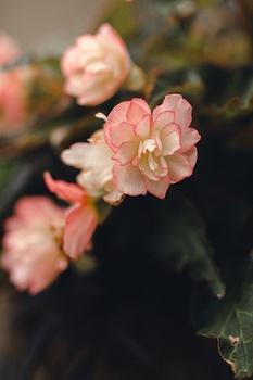 Begonien überwintern: So kommen die Blumen gut über den Winter