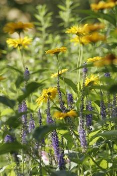 Ringelblumen pflanzen und pflegen