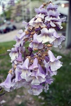 Blauglockenbaum (Paulownia tomentosa) für große Gärten und Parks