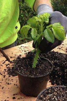 Anleitung zum Vermehren von Pflanzen mit Stecklingen