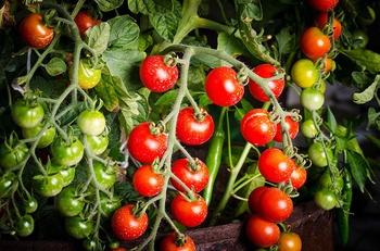 9 Tipps zum Anbau von Tomaten im Topf