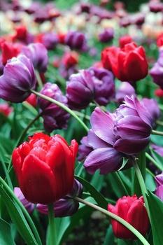 10 Gründe, warum Tulpen nicht blühen