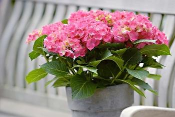 Hortensien als Zimmerpflanzen