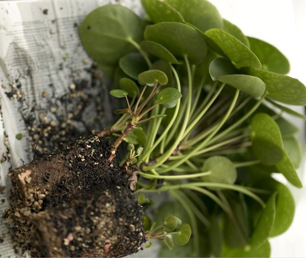 ufopflanze pilea peperomioides vermehren. Black Bedroom Furniture Sets. Home Design Ideas
