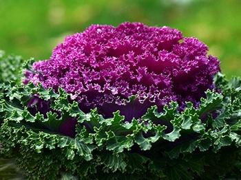 Zierkohl anbauen, pflanzen, pflegen
