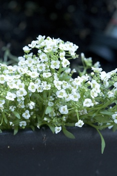 6 Kübelpflanzen, die ohne Ausputzen auskommen