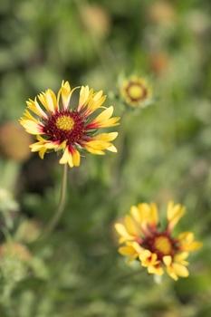 Kokardenblumen pflanzen, pflegen, schneiden und mit Samen vermehren