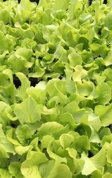Pflücksalat säen, pflanzen und pflegen