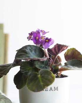 Usambaraveilchen pflanzen, pflegen und vermehren