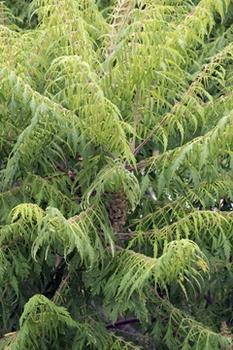 Die Verbreitung des Essigbaums verhindern oder ihn  bekämpfen