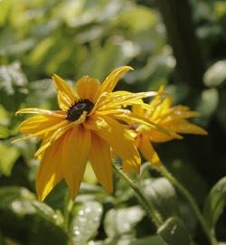 Pflanze Sonnenhut im Garten