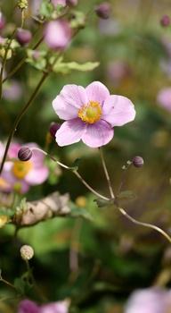 Herbst-Anemonen