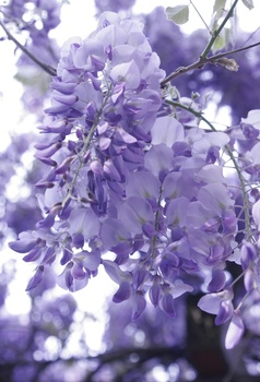 Blauregen (Glyzinie) vermehren