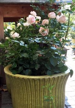 Rosen im Pflanzkübel