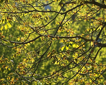 Walnussbaum richtig schneiden