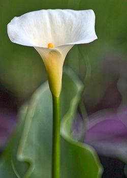Calla überwintern – so übersteht die weiße Exotin die kalte Jahreszeit